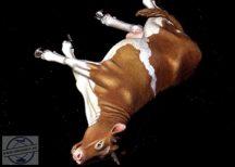 Dead Cow - 1/35 - 54 mm