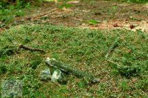 Kora nyári erdei talaj - fűlap