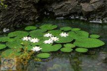 Waterlily 1:32 / 1:35 - Vízililiom