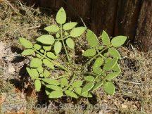 Alacsony gyomnövények