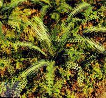 Trópusi páfrány